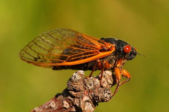 can you eat a cicada